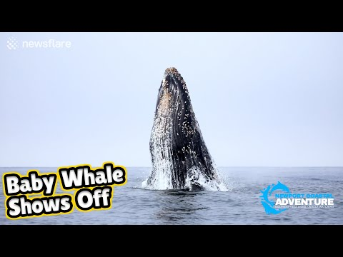 Adorable baby humpback whale shows off with spectacular breaches | Whale Encounters