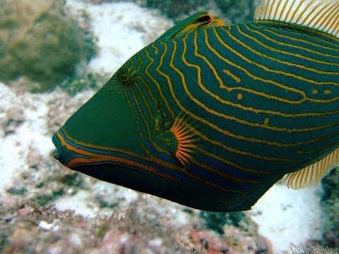balistapus undulatus undulate triggerfish orangelined triggerfish