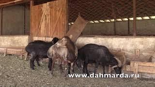 Гиссарские овцы -  НЕСКОЛЬКО КУЧКАРОВ ХОЗЯЙСТВА БАРАКАТ НА ОТКОРМЕ