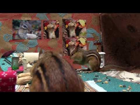 Chipmunk House Video (bigger door)