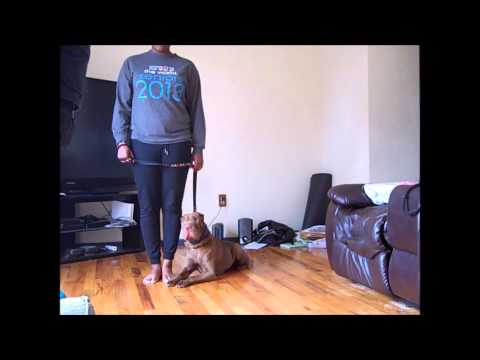 Shar Pei Obedience Training