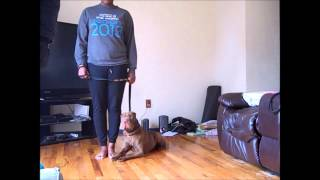 Shar Pei Obedience Training