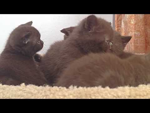 Amazing British Shorthair kittens ! Rare colors Chocolate and Cinnamon  available ))))))
