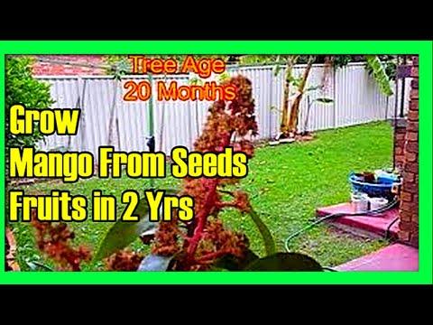 2 Year Old Mango Tree Producing Fruits