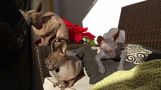 Sphynx Cats Family Enjoying The Day / DonSphynx /