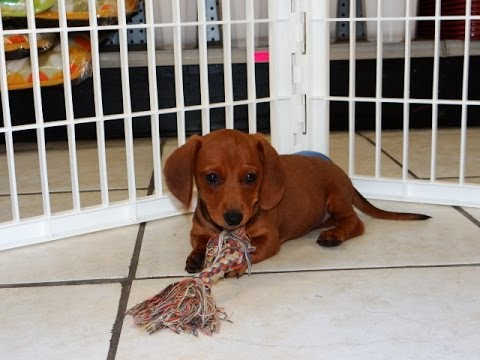 dachshund puppy for sale near jacksonville north carolina miniature dachshund puppies dogs for sale in raleigh 7112