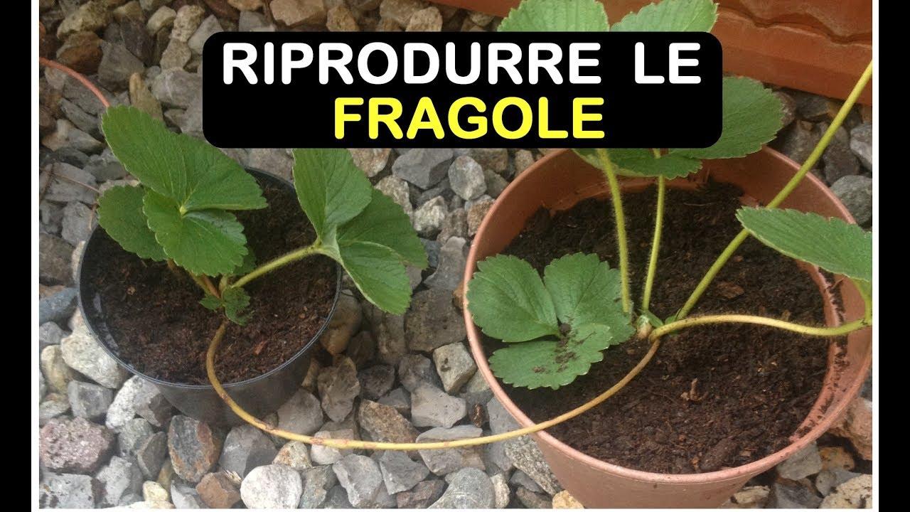 Download MOLTIPLICARE LE FRAGOLE