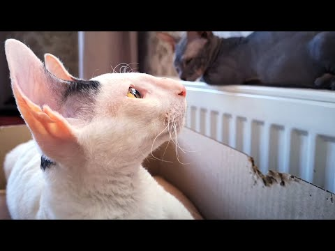 Cornish Rex cat eats a house from cardboard boxes