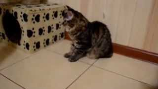 Котята курильского бобтейла (кошечки, 4 месяца)