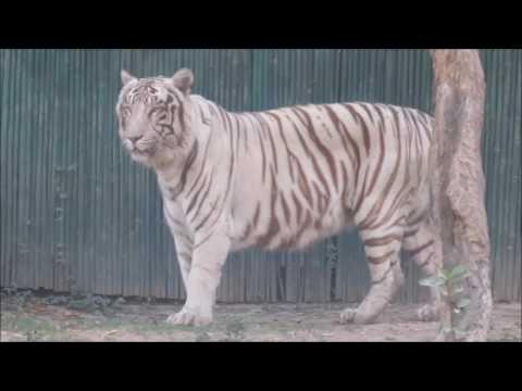 White tiger at Delhi Zoo, March 2017
