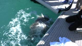 Hayman Island Fish Feeding - Queensland Groper