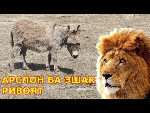 Арслон ва Эшак РИВОЯТ