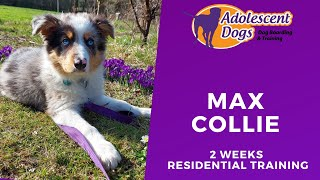 Max the Border Collie Puppy - 2 Weeks Residential Dog Training