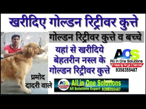 Golden Retriever Dog गोल्डन रिट्रीवर कुत्ता best breed Dog for Sale प्रमोद दादरी मेरठ उत्तर प्रदेश