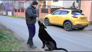 Умный Блэк. Восточноевропейская овчарка. Smart East European Shepherd.