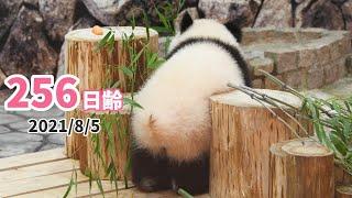 【パンダの赤ちゃん(楓浜)】おしりが気になる… (256日齢)