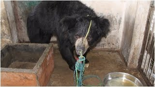 When Rescuers Found This Sick Blind Bear, He'd Endured Years Of Abuse As A Dancing Spectacle
