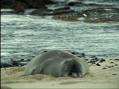 The Plight of the Hawaiian Monk Seal