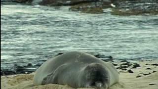 The Plight of the Hawaiian Monk Seal