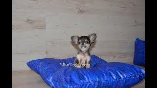 Очень маленькая собачка чихуахуа, щенок голубого окраса