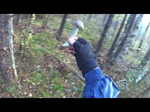 В поисках грибов в первую субботу октября - под Тосно, Ленобласть