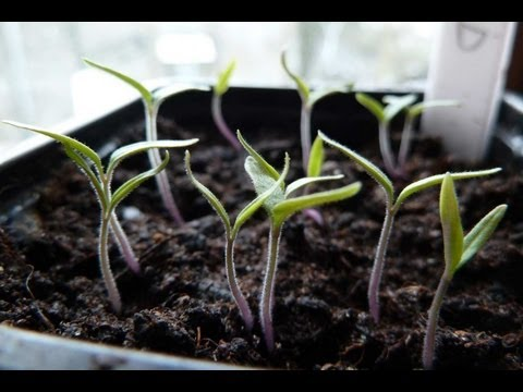 how-to-grow-tomatoes-:-pricking-out-/-transplanting-seedlings