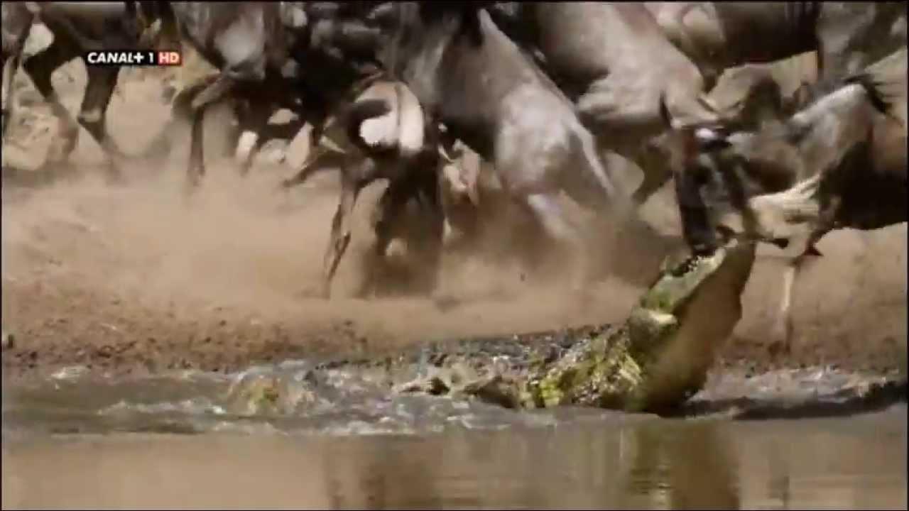 cocodrilos cazando us   youtube