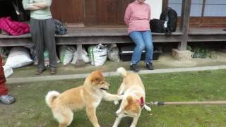生後4か月の山陰柴犬子犬は微妙な距離を保ちます。