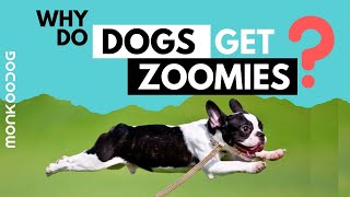 Why do Dogs get Zoomies? || Scientific reason behind zoomies ll Monkoodog