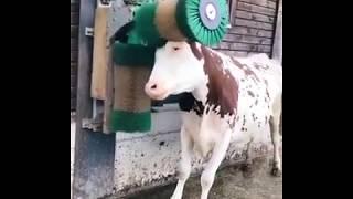 Une vache prend son pied avec une brosse
