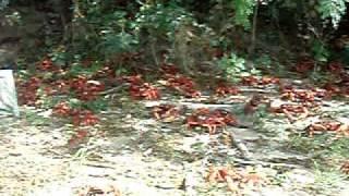 Rec crab migration on Christmas Island, Australia オーストラリア領クリスマス島アカガニの産卵移動