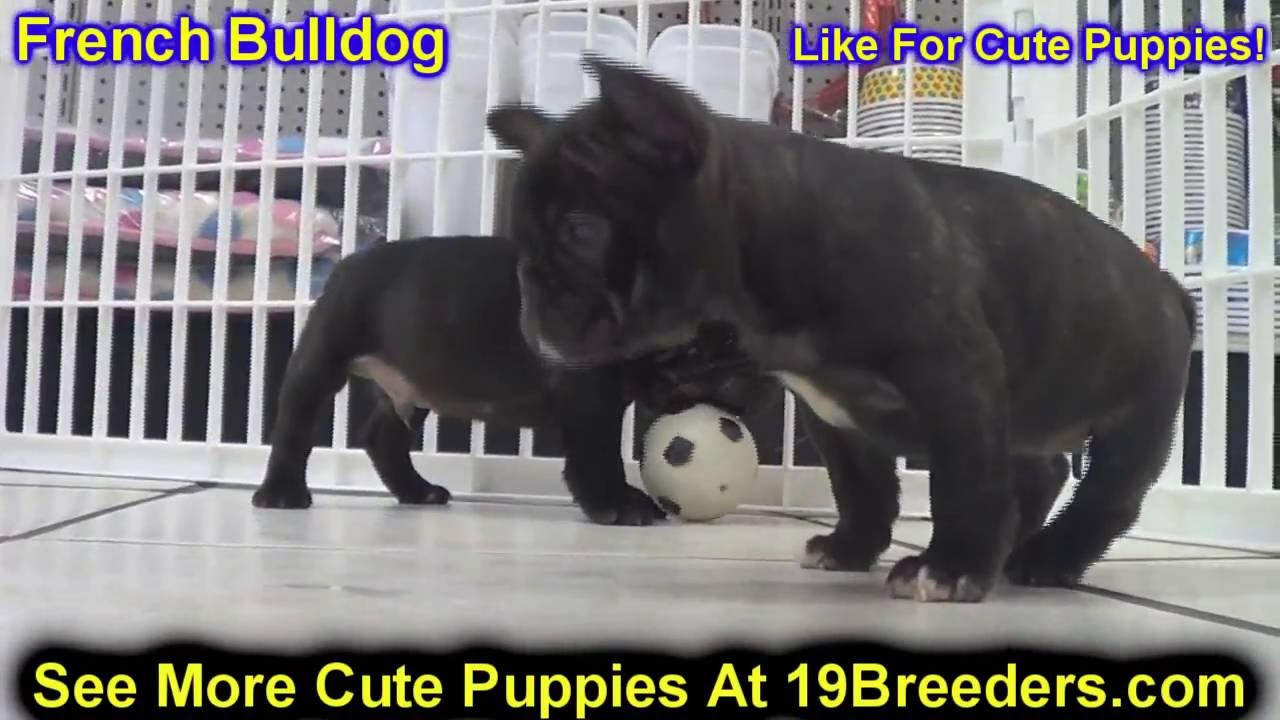 French Bulldog, Frenchie, Puppies, Dogs, For Sale, In Anchorage, Alaska,  AK, 19Breeders, Fairbanks