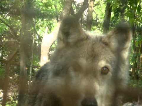 So called wolves at Zoo of Acadiana YouTube