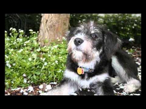 10 Extraños Cruces de Perros Adorables