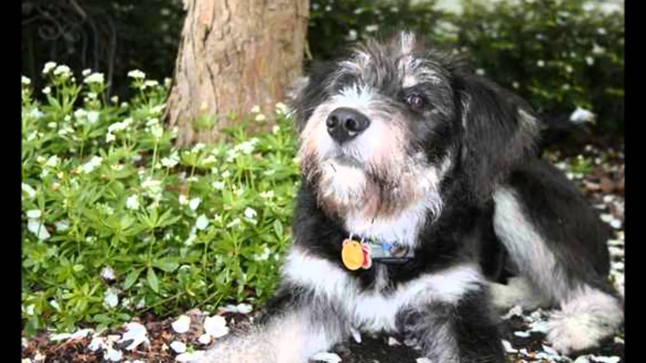 10 Extraños Cruces de Perros Adorables - YouTube | 1280 x 720 jpeg 103kB