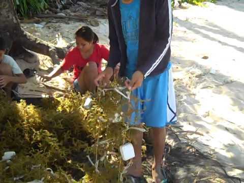 Seaweed farmers in Caluya, Philippines