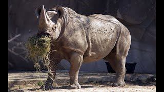 Живой Мир. Носороги в дикой природе
