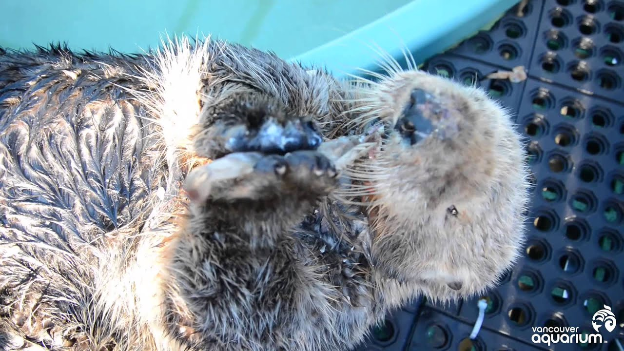Rescued Sea Otter Munches His Clams - YouTube