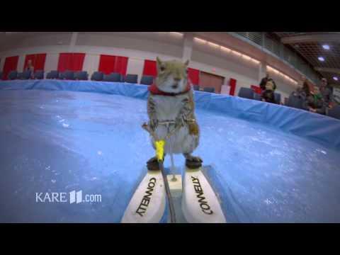 Twiggy:The WaterSkiing Squirrel by Jonathan Malat(KARE11.com)