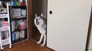 ピーピーマニアの方向け〜 文太は散歩に行きたい時なんかにはピーピー言...