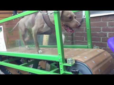 Lili (Sporting Dogs Holland) runnning on the Firepaw Economy Dog Treadmill