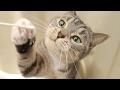 funny cat pawing and flehmen response / 【猫 おもしろ】猫パンチとフレーメン反応