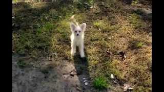 Китайская хохлатая собака - щенки