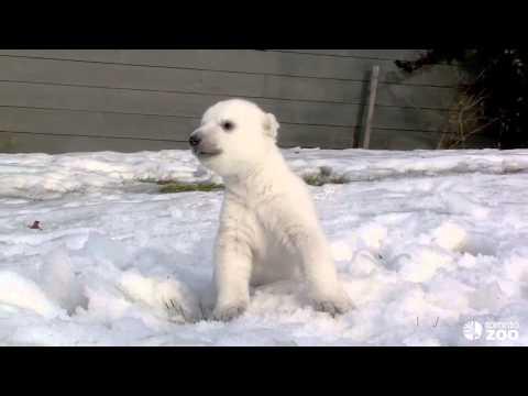 Полярный мишка первый раз увидел снег в зоопарке в Торонто