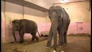 Гастроли приостановлены, но слоны тренируются: как проходят репетиции в сочинском цирке