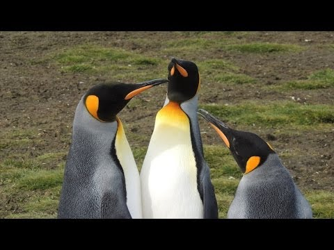 A2 Falklands & South Georgia 2014