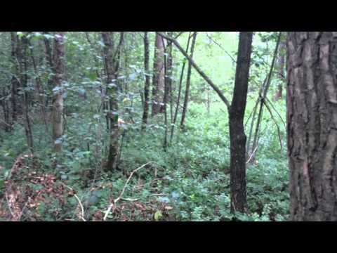 Hunting shiba and Japanese Akita