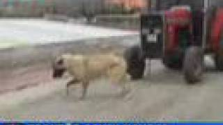 Kurdish Kangal Dog Pulls a 4,5 Tons Tractor with its Mouth!