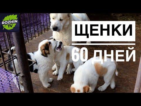 ЩЕНКИ АЛАБАЯ 60 ДНЕЙ