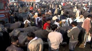 Buffalo market  in Muzaffarnagar, Uttar Pradesh